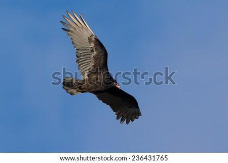 Turkey Vulture  - stock photo