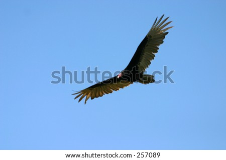 Turkey vulture (Cathartes aura) in flight - stock photo