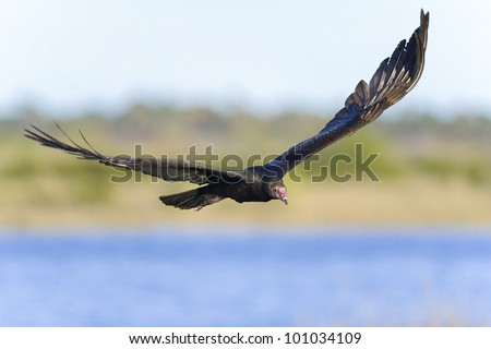 turkey vulture, cathartes aura, merritt-island, florida