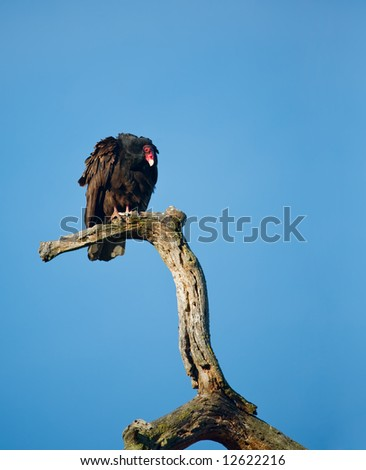 Turkey Vulture, Cathartes aura, on a Dead Tree Branch