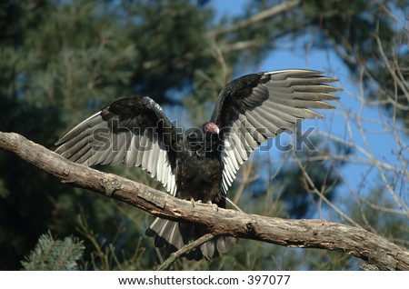 Turkey vulture flapping wings