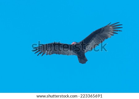 Turkey Vulture flying across the clear blue sky. - stock photo
