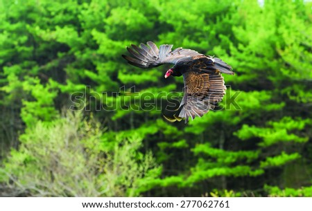 Turkey Vulture in flight - stock photo