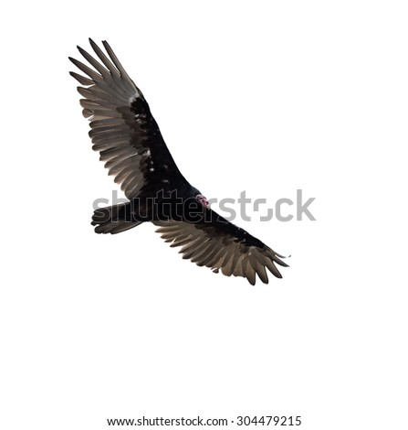 Turkey Vulture in Flight on White Background, Isolated
