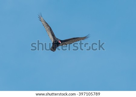 Turkey Vulture soaring high in the clear blue sky. - stock photo