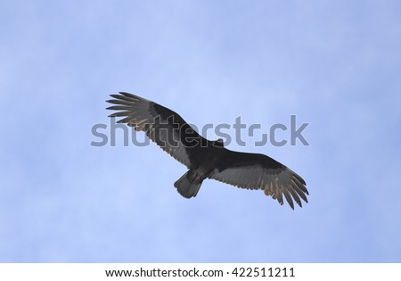 Turkey vulture with full wingspan - stock photo
