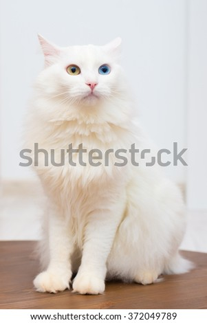 Turkish Angora cat sits and stares into the camera - stock photo