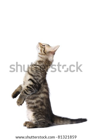 Turkish angora kitten in studio on a white background