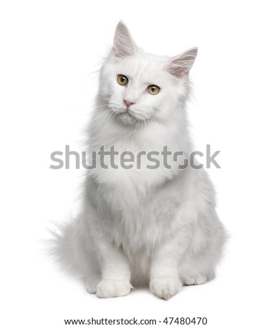 Turkish Angora (18 months old) in front of a white background