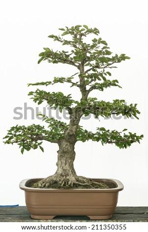 Turkzaninov's Hornbeam (Carpinus turczaninowii) as bonsai tree - stock photo