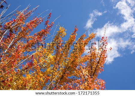 Turned orange color of autumn Trident maple leaves under sky with cloud