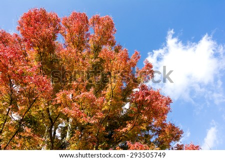 Turned red of autumn maple leaves under sky