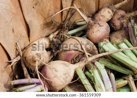 Turnips Fresh from the Ground In a Bushel Basket. - stock photo