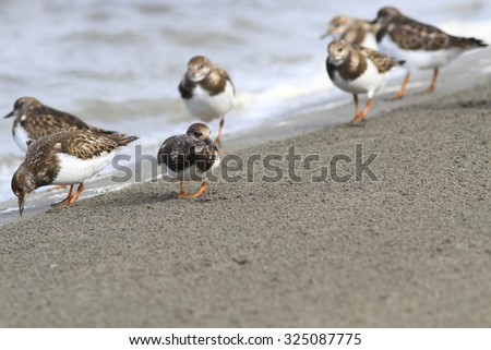 Turnstone look for food in sand on an ocean coast