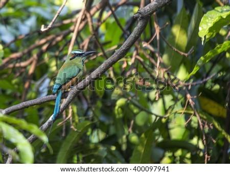 Turquoise-browed Motmot (Eumomota superciliosa) spotted in El Salvador - stock photo