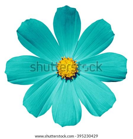 Turquoise flower Primula isolated on white - stock photo