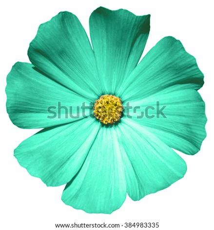 Turquoise flower Primula macro isolated on white - stock photo
