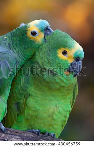 Turquoise-fronted parrot (Amazona aestiva ) - stock photo