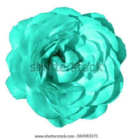 Turquoise rose flower macro isolated on white - stock photo