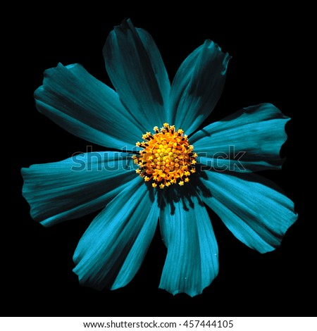 Turquoise surreal flower Primula macro isolated on black - stock photo