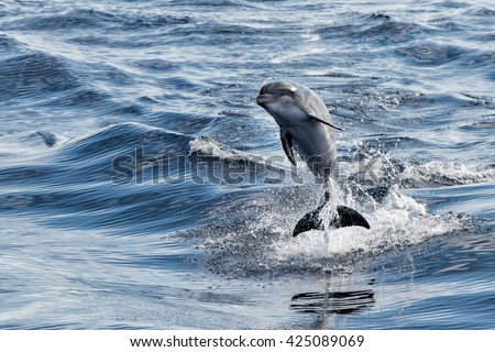 tursiop dolphin jumping outside the water - stock photo