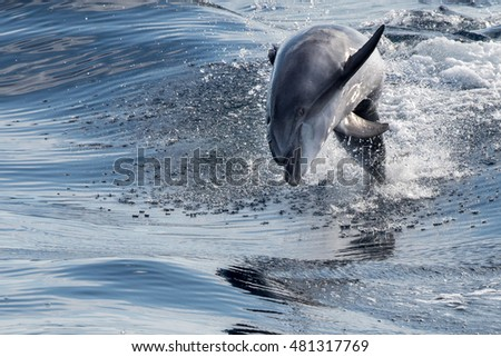 tursiop dolphin jumping outside the water