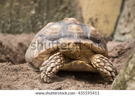 Turtle, African Spurred Tortoise - stock photo