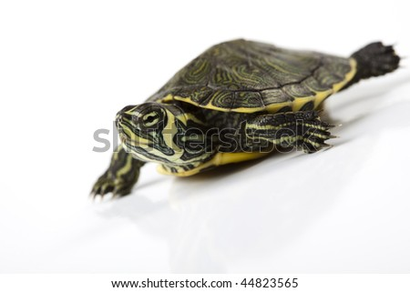 Turtle and carapace