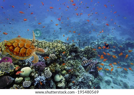 Turtle and Hard corals in the Red Sea, Egypt. - stock photo
