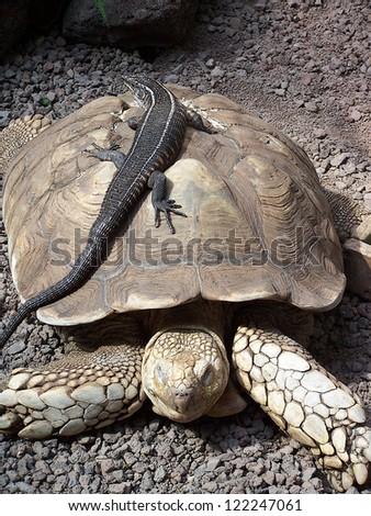 turtle and lizard - stock photo