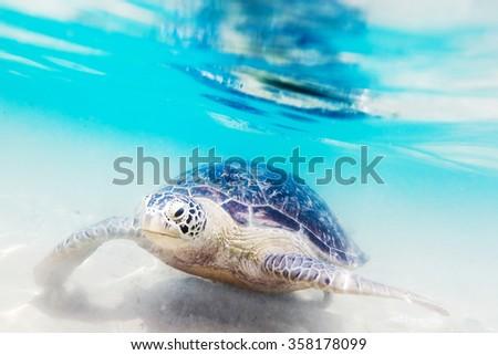 Turtle at Hikkaduwa beach. Sri Lanka - stock photo