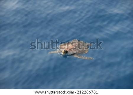 Turtle at the surface of ocean - stock photo