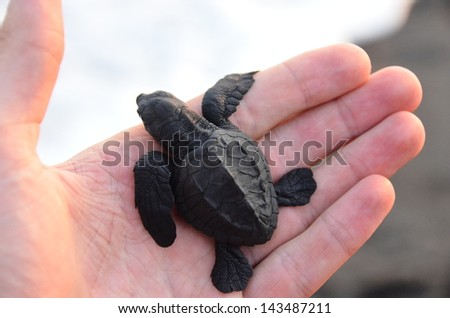 Turtle Baby - animal protection - stock photo
