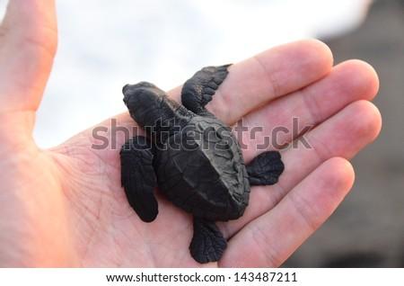 Turtle Baby - animal protection - stock photo