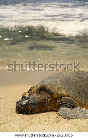 turtle basking on beach in hawaii - stock photo