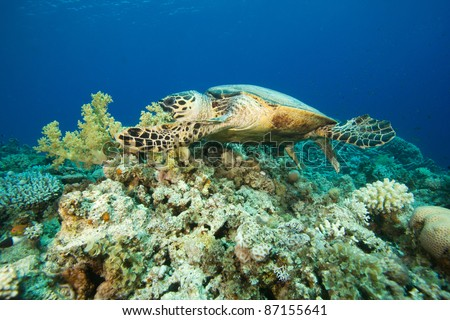 Turtle biting into soft coral