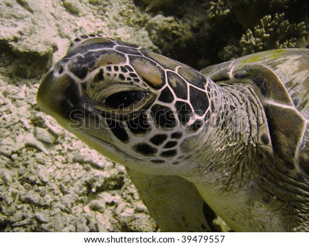 turtle close up, sipadan borneo malaysia - stock photo