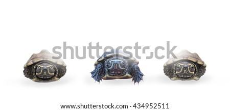 Turtle crawl awkwardly White background - stock photo