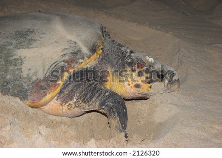 Turtle digging in the sand to lay her eggs