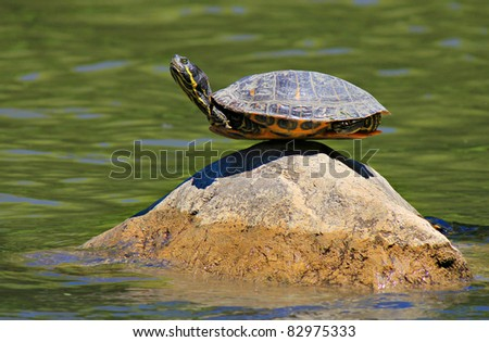 turtle doing yoga finding the ultimate sense of balance on the rock - stock photo