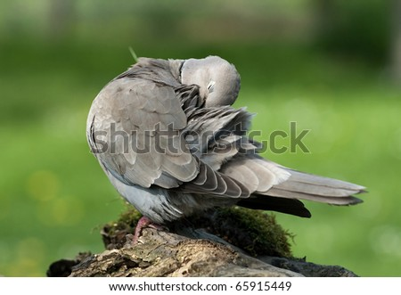 turtle dove gray/dove gray