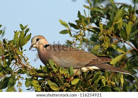 Turtle Dove ( streptopelia turtur ) - stock photo