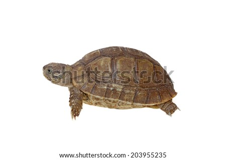 turtle dwells isolated on white background young