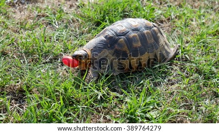 Turtle eating a tomatoe