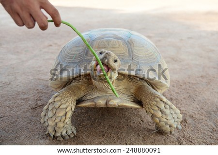Turtle eating Yard Long bean - stock photo