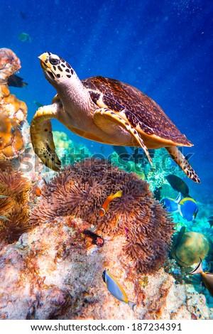 Turtle - Eretmochelys imbricata floats under water - stock photo