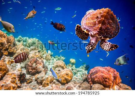 Turtle - Eretmochelys imbricata floats under water. Maldives Indian Ocean. - stock photo