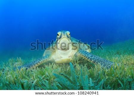 Turtle (Green Turtle - Chelonia mydas) - stock photo
