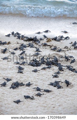 Turtle Hatchlings taking their first steps down the beach and into the ocean - stock photo