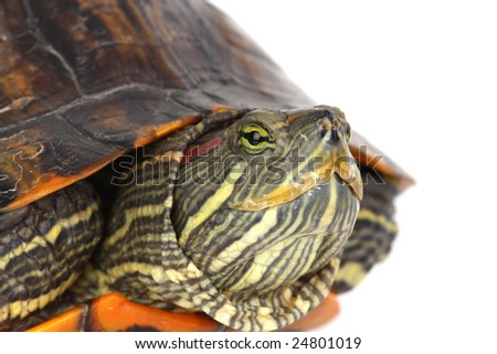 turtle head isolated on a white background - stock photo